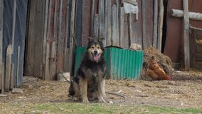A dog tied to a chain. Watchdog. Chicken in the background stock video footage