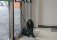 Dog tied to the door of the shopping center waiting for the owner stock photos