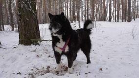 Black dog in the winter forest stock video footage