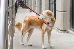 A dog tied up at a street corner in the city. Owners commonly leave dogs tied outside stores. royalty free stock image