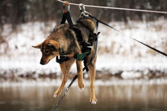 Dog tied up to the rope crossing the river Royalty Free Stock Images