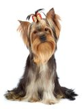 Dog with tilted head Royalty Free Stock Image