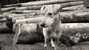 Dog on timber logs Stock Photography