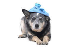 Dog Tired. Dog with ice pack on head Royalty Free Stock Photo