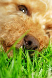 Dog tired. Focus on healthy dogs nose, tired and relaxed enjoying a summers day Royalty Free Stock Photo