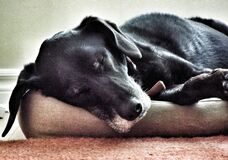 Dog tired Stock Photography