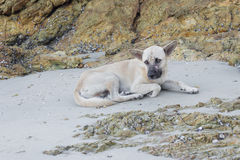 Dog tired. A tired dog on the beach Stock Image