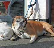 Dog tired boxer dogs sleeping. Photo of dog tired boxer dogs sleeping on the pavement outside a shop waiting for owner to come along stock images
