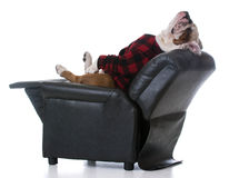 Dog tired. Bulldog stretched back resting in a recliner on white background Royalty Free Stock Photos