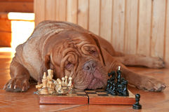 Dog is Tired of Chess Stock Photo