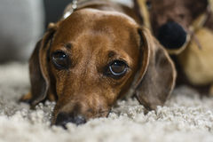 Dog tired look Royalty Free Stock Images