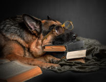 Dog tired of reading Royalty Free Stock Photo