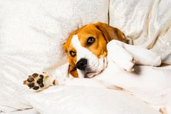 Dog tired sleeps on a couch. Lazy Beagle on sofa stock images