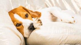 Dog tired sleeps on a couch. Lazy Beagle on sofa stock photography