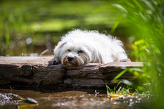 Dog Tired Royalty Free Stock Photography