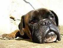 Dog to boxer. Closeup race dog to boxer royalty free stock image