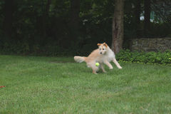 Dog about to catch ball. Dog playing in grass catching a tennis ball Royalty Free Stock Image