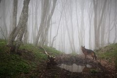 Dog in to the forest. Dog on a fog forest background Royalty Free Stock Photos