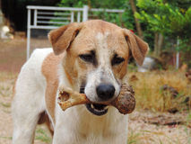 Dog to hold in the mouth ,bone outdoor Royalty Free Stock Photography