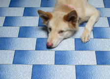 Dog to sleep. On tile floor Stock Photography