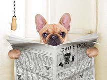 Dog toilet. Fawn french bulldog dog sitting on toilet and reading magazine Royalty Free Stock Photo