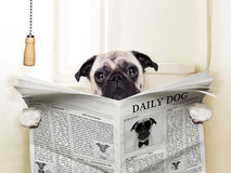 Dog toilet. Pug dog sitting on toilet and reading magazine having a break Royalty Free Stock Photo