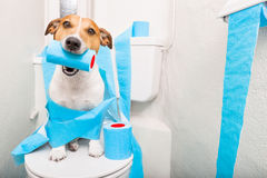 Dog on toilet seat. Jack russell terrier, sitting on a toilet seat with digestion problems or constipation looking very sad and toilet paper rolls everywhere one Royalty Free Stock Photo