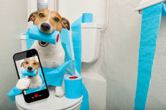 Dog on toilet seat. Jack russell terrier, sitting on a toilet seat with digestion problems or constipation taking a selfie royalty free stock photo