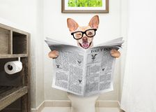 Dog on toilet seat reading newspaper. Chihuahua dog sitting on a toilet seat with digestion problems or constipation reading the gossip magazine or newspaper royalty free stock photo