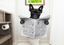 Dog on toilet seat reading newspaper royalty free stock photo
