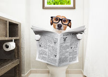 Dog on toilet seat reading newspaper. Jack russell terrier, sitting on a toilet seat with digestion problems or constipation reading the gossip magazine or stock image