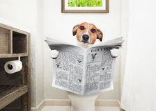 Dog on toilet seat reading newspaper. Jack russell terrier, sitting on a toilet seat with digestion problems or constipation reading the gossip magazine or royalty free stock images