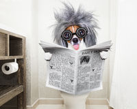 Dog on toilet seat reading newspaper Stock Image