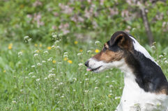Dog with tongue out Royalty Free Stock Photos