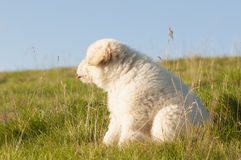 Dog with tongue out. Cute white and fluffy stray dog with tongue out sitting on green grass Stock Images