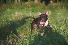 Dog with tongue running on green field Royalty Free Stock Images