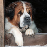 Dog took shelter from the snow in a box Stock Photography
