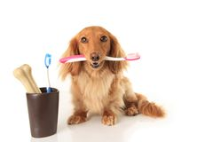 Dog and tooth brush. Dachshund dog holding a toothbrush Stock Photos