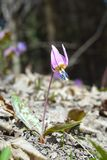 Dog-tooth Violet (Erythronium dens-canis) Royalty Free Stock Image