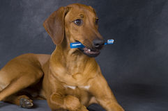 Dog with toothbrush Royalty Free Stock Images