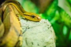 Dog-toothed cat-eye (Boiga cynodon) in the snake farm. Boiga cyn Stock Images