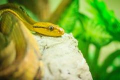 Dog-toothed cat-eye (Boiga cynodon) in the snake farm. Boiga cyn Stock Image