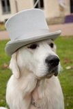 Dog with top-hat Stock Image
