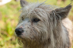 Dog on the top of the mountain. Grey dog for the sheep Stock Photos