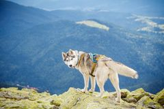 Dog on the top of the mountain Stock Photography