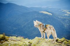 Dog on the top of the mountain Royalty Free Stock Photography