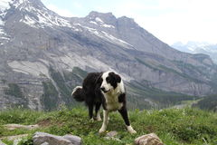 The dog on the top of mountain Stock Photography