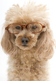 Dog In Tortoise Shell Glasses Royalty Free Stock Images