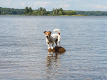 Dog in tough situation on a tiny rock surrounded by water. Jack Russell Terrier on small island Royalty Free Stock Image