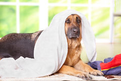 Dog in towel Stock Photo